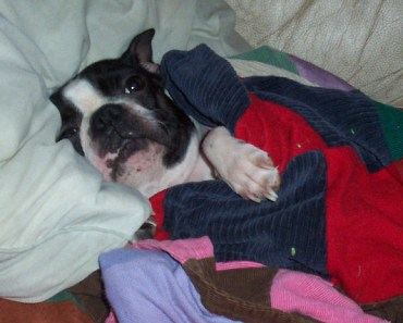 What to Watch for When Dealing With a Boston Terrier Rescue Group