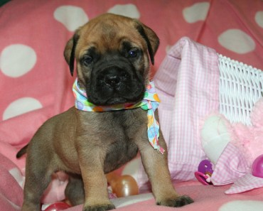 Watching These Bullmastiff Puppies Play Might Melt Your Heart