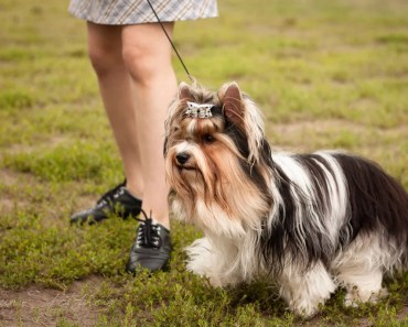 The Biewer Yorkie:  A Rare and Fancy Dog Breed