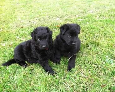 Black German Shepherd Puppies Know how to Sing!