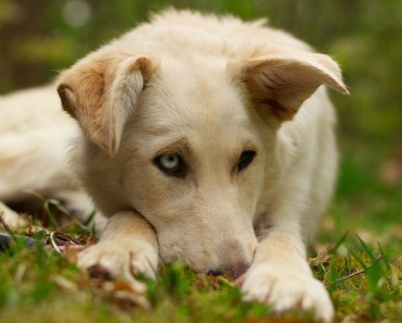 A Few Tips Before Buying or Rescuing a Golden Retriever Husky Mix