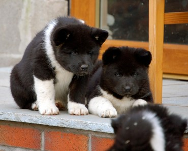 Five of the Cutest Akita Puppies of 2014