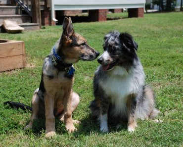 The Miniature German Shepherd: Is It Really A Different Breed?