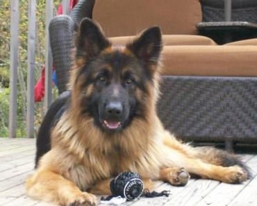 The Long Haired German Shepherd: A Noble and Hard Working Service Dog Breed