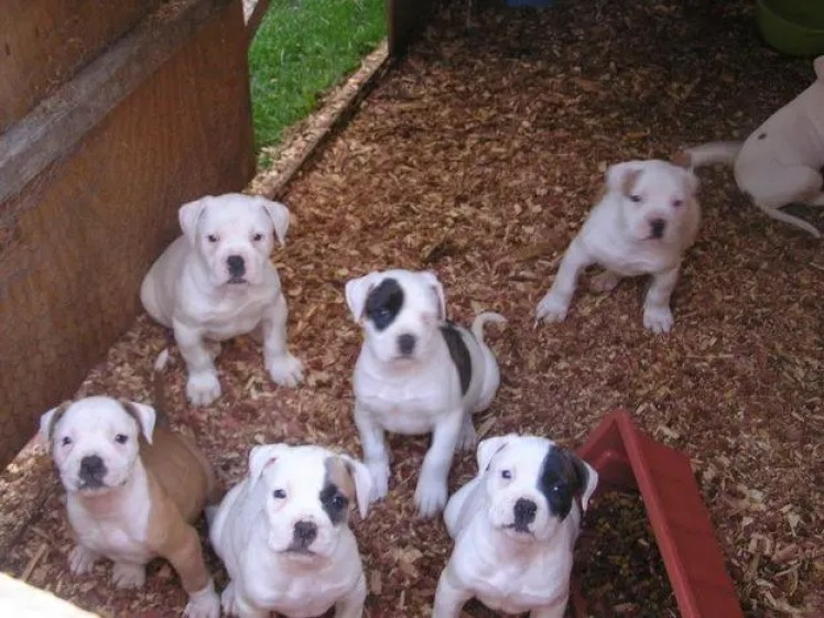 American Bulldog Puppies 5 Tips For Taking Care Of Them The Right Way