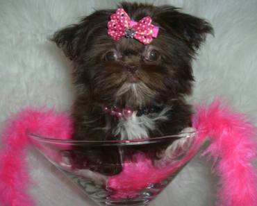 Precautions to Consider Before Adopting an Imperial Shih Tzu