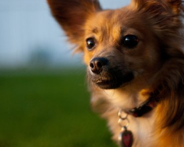 What Do You Get When You Cross A Pomeranian With A Chihuahua?  A Super Cute Pooch Thats What!