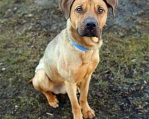 True or False: The Misconceptions about the German Shepherd Pitbull Mix
