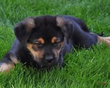 A German Shepherd Rottweiler Mix Isn't For Everyone