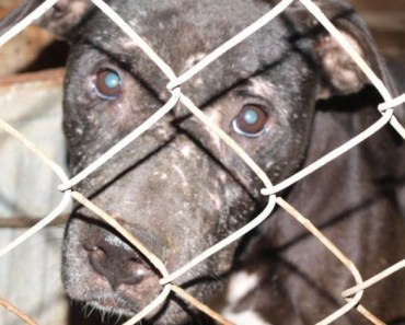 69 Dogs Rescued From A Fighting Ring May Get A New Chance At Life