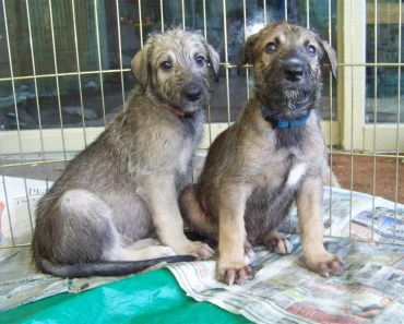 Irish Wolfhound Puppies Need Special Care While Growing