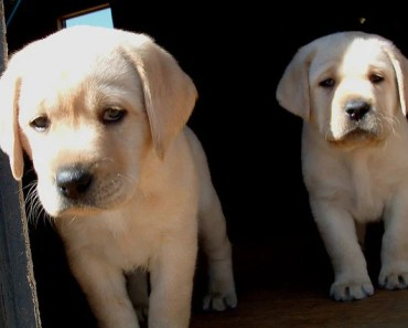 The English Labrador Retriever: A Pedigree and Not A Breed