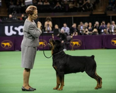 Tips on Raising a Rottweiler Unlikely to Become Aggressive