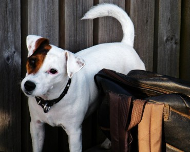 Why The Jack Russell Terrier Is One of The World's Most Beloved Canines