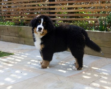 Bernese Mountain Dog Puppies Are Adorable but They Do Grow up Fast