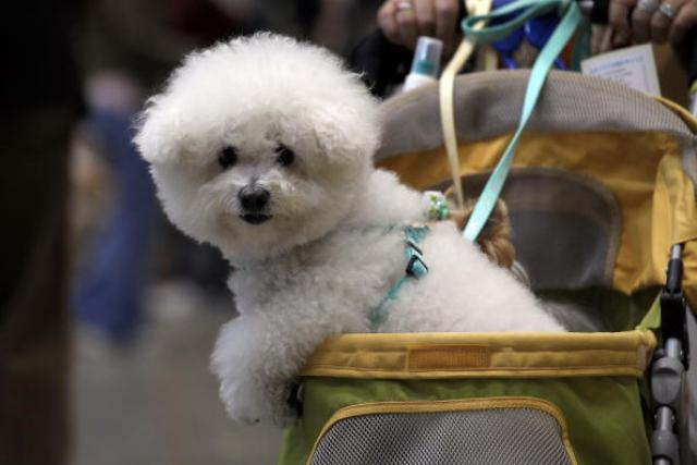 It is Possible to Rescue and Adopt a Small Bichon Frise