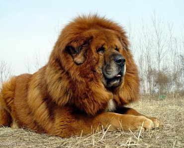 Is the Tibetan Mastiff Right For Your Home?