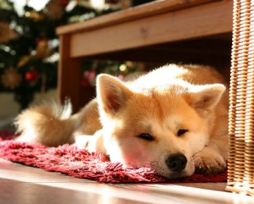 The Japanese Akita: Not All of These Dogs Are Dangerous