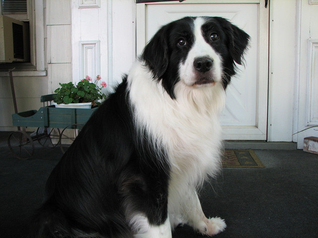 Bedwelming The Border Collie Lab Mix: A Great Watchdog With A Loving &CU68