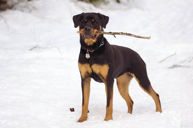The Most Popular Rottweiler Names in the World