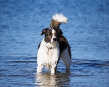 Border Collie Dog Breed Information and Photos