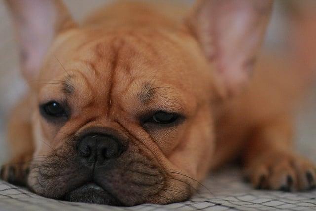 Fawn French Bulldog