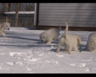 Watch These White Golden Retriever Puppies Playing In The Snow For The First Time!