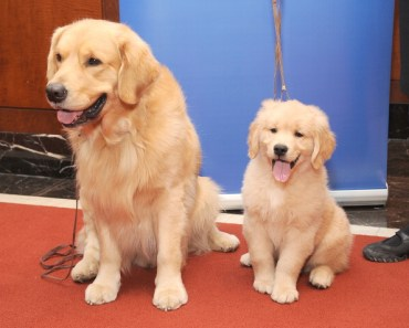 10 Things you Didn't Know about the Golden Retriever