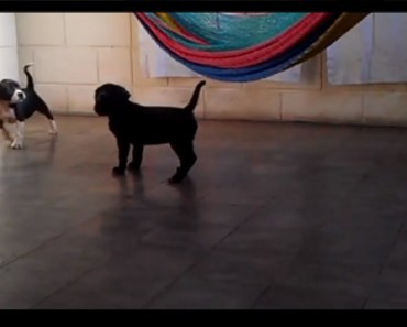These Beagle Pitbull Mix Puppies Love To Play!
