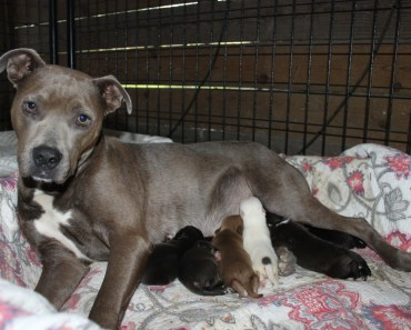 Rescued Pit Bull Becomes A Foster Mom To 16 Puppies