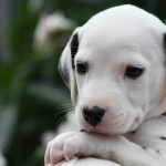 Special Care Tips For Dalmatian Puppies