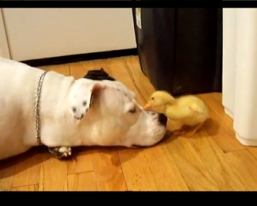 pitbull and duck