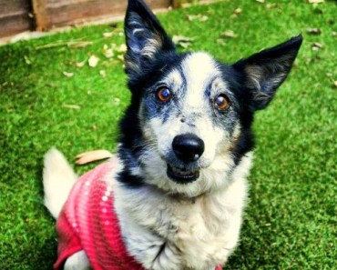 19 Year Old Jack Russell-Collie Mix Rescue Dog Beats All Odds to Survive