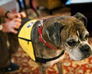 After Being Rescued from Hurricane Katrina, Boxer Dog Gets New Life Helping Others