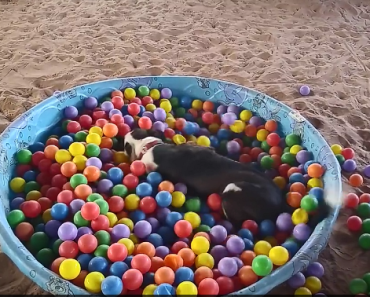 Rescued Pit Bull and Her Ball Pit Are Blowing Up the Internet
