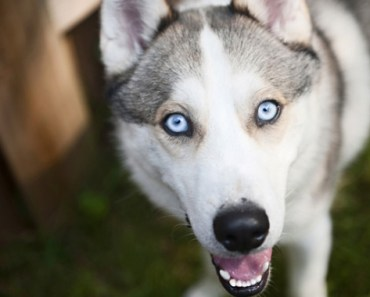 Siberian Husky Dog Breed Information and Photos