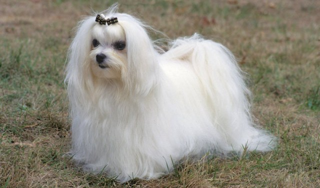 great lap dogs are maltese breeds