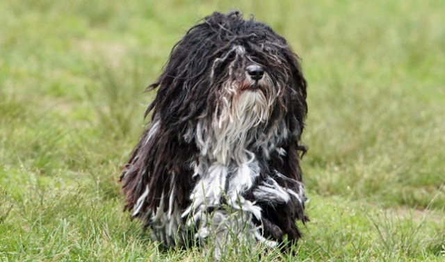 the havanese is a great dog
