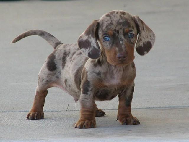 Hybrid Dog Breeds - Dalmaschund