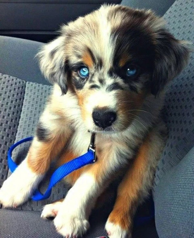 Hybrid Dog Breeds - Goberian puppy
