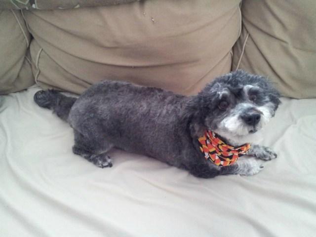 Hybrid Dog Breeds - Snoodle Puppy