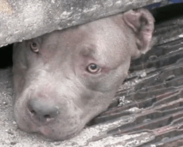 Florida Police Officer Rescues Three Pit Bulls From Sewer Drain