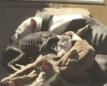 Four Emaciated Pit Bulls are Rescued Because of One Photo that Went Viral