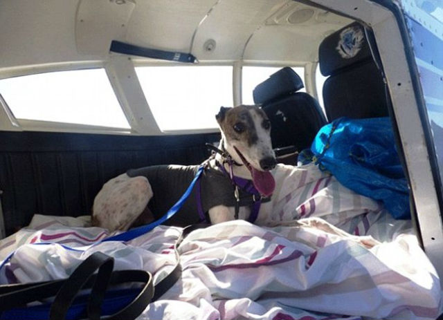 greyhound in route to meet new family