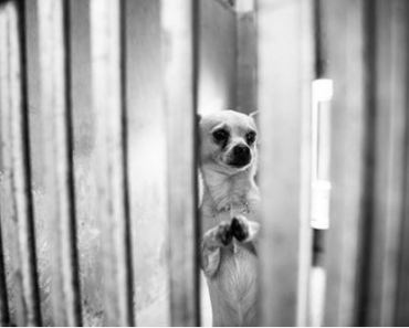 Praying Chihuahua Finds Forever Home