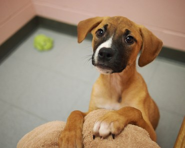 The Boxer Lab Mix: A High Energy Working Dog and Cute as a Button!
