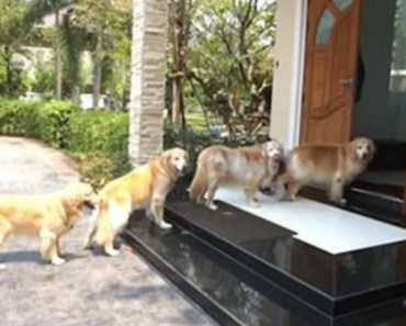 Check Out the Manners on These Golden Retrievers