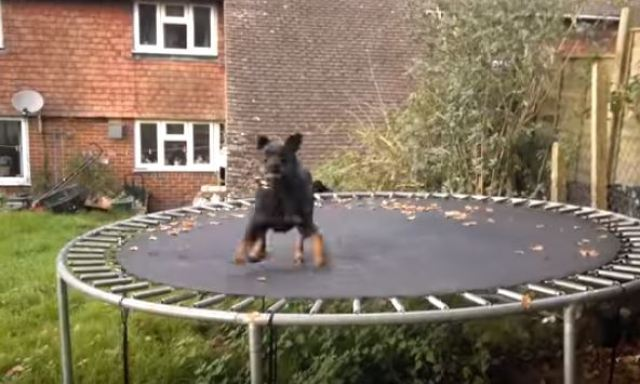 rottie on trampoline