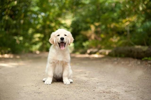 Labrador Puppy Sitting On A Woodland Path