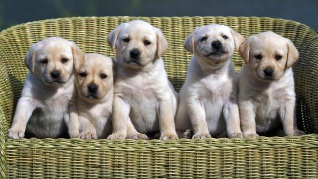 Labrador Retriever 7